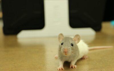 Sådan ved du, at du har besøg af rotter